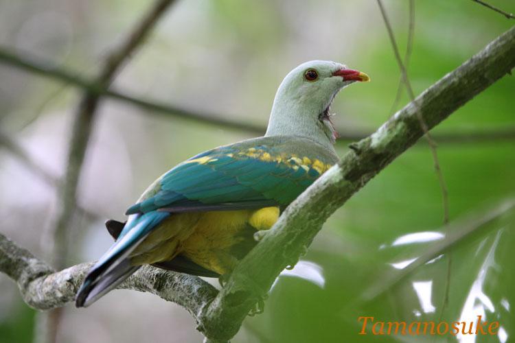 Tamanosuke -Wompoo_Fruit_Dove_10