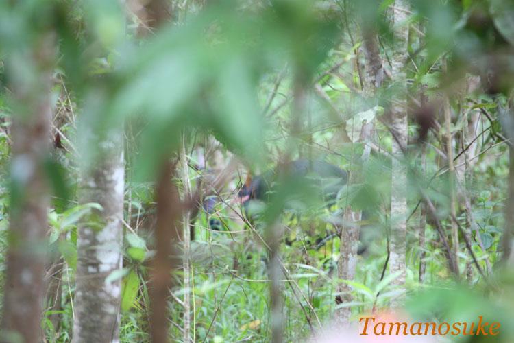 Tamanosuke -Southern_Cassowary_10