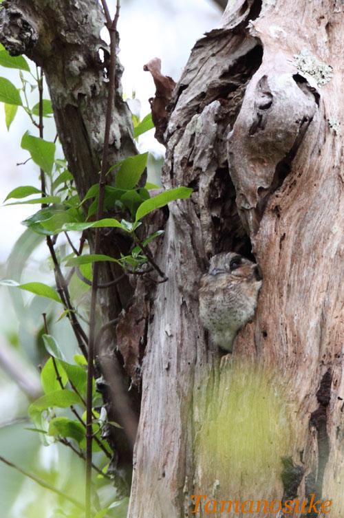 Tamanosuke -Australian_Owlet_Nightjar_10