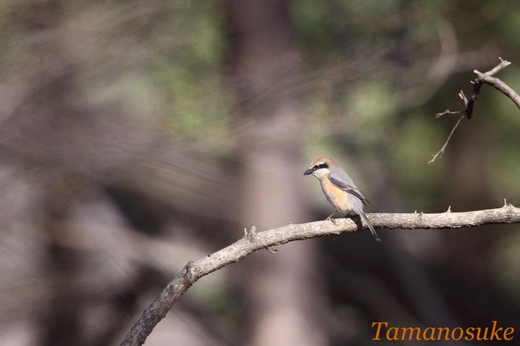 Tamanosuke -mozu_1