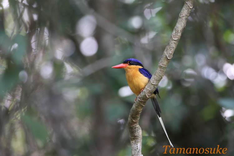 Tamanosuke -Buff_breasted_Paradise_Kingfisherr_70
