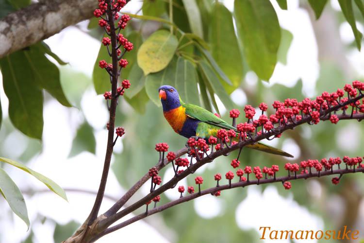 Tamanosuke -Rainbow_Lorikeet_2