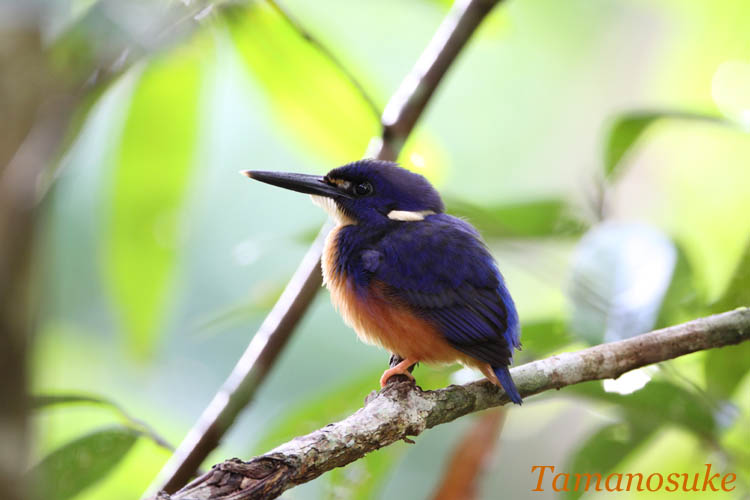 Tamanosuke -Azure_Kingfisher.jpg_16