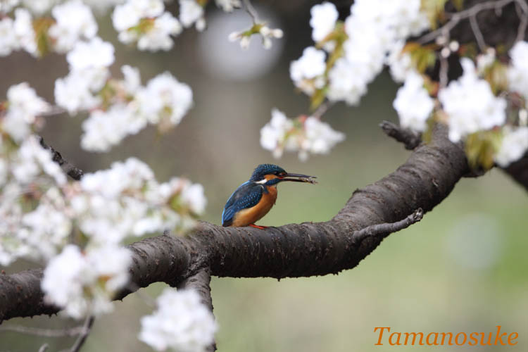 Tamanosuke -kawasemi_4