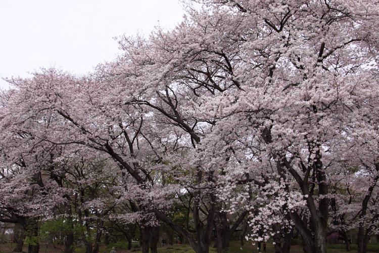 Tamanosuke -sakura_2