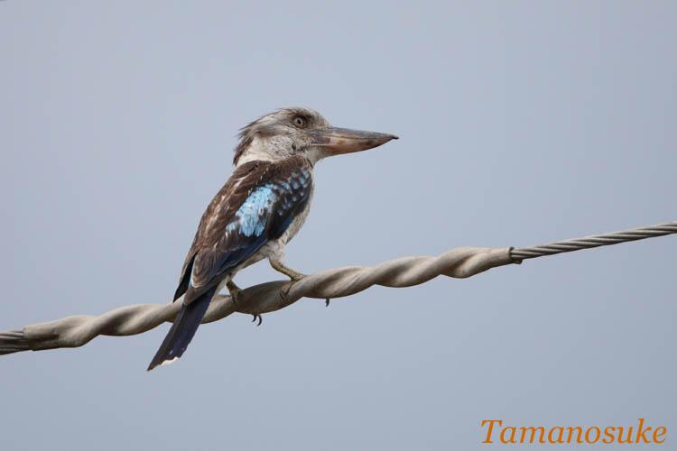 Tamanosuke -Blue_winged_Kookaburra_20