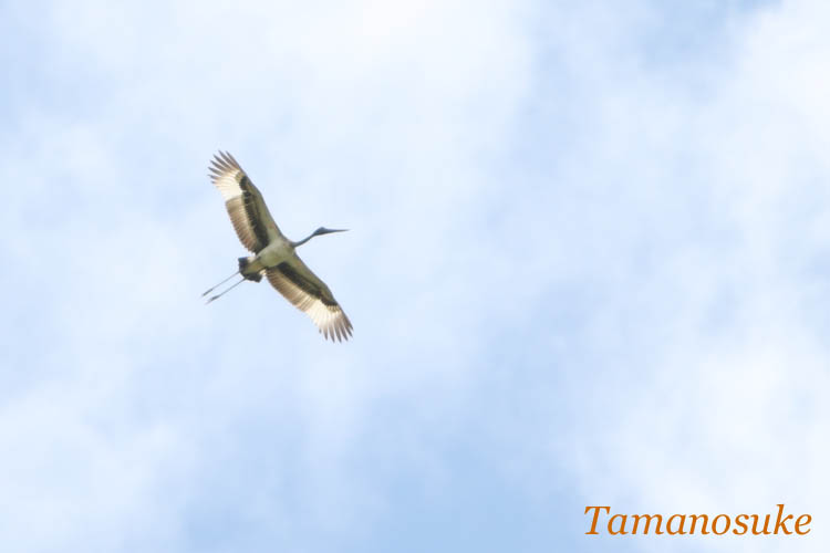 Tamanosuke -Black_necked_Stork_1