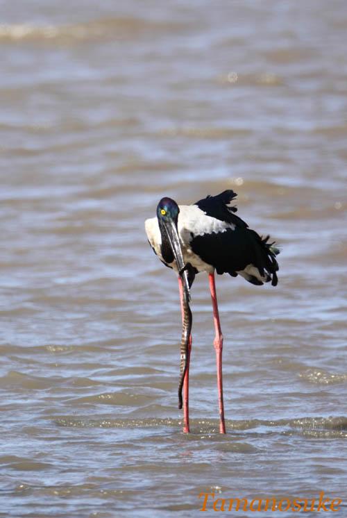 Tamanosuke -Black_necked_Stork_3