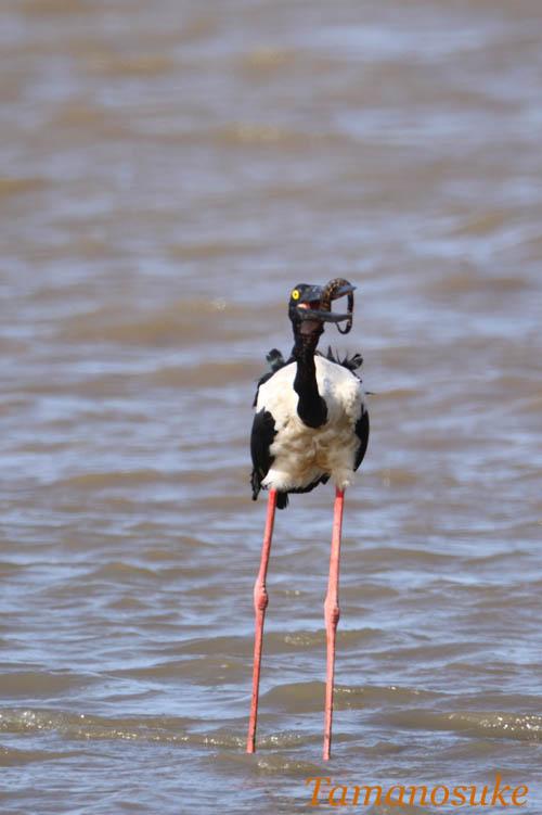 Tamanosuke -Black_necked_Stork_2