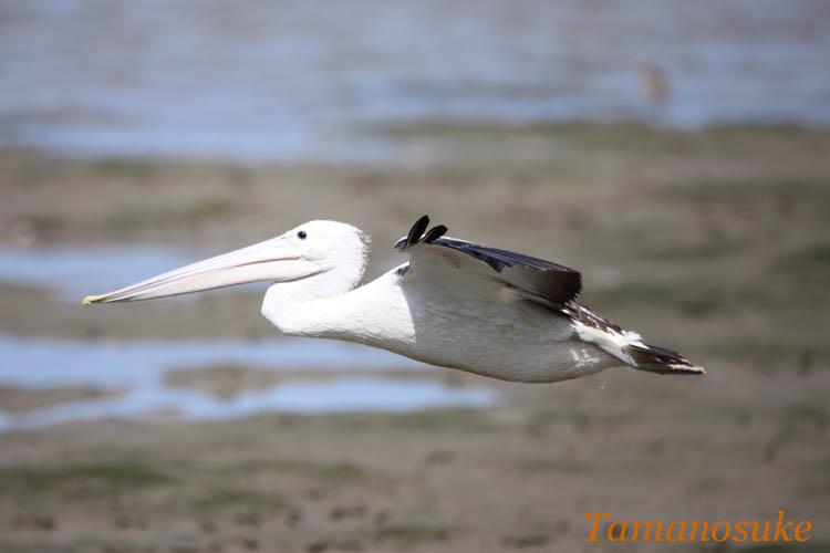 Tamanosuke -Australian_Pelican_20