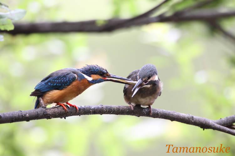 Tamanosuke -kawasemi_13