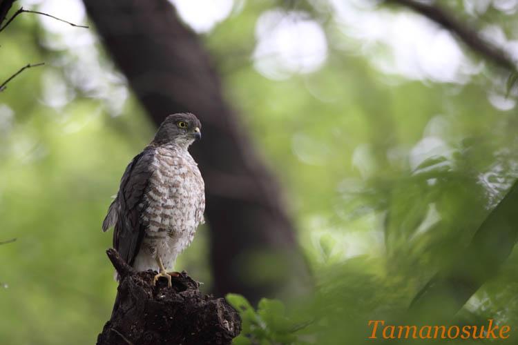 Tamanosuke -tumi_4