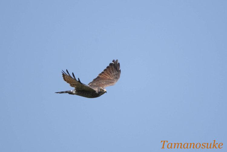 Tamanosuke -sashiba_2009_2