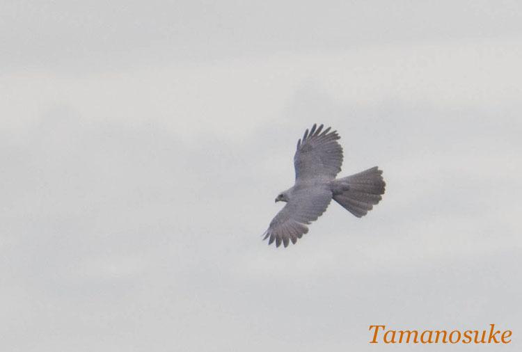 Tamanosuke -undefined_2008_12