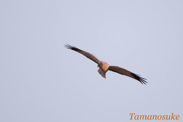 Tamanosuke -haichu_2010_1