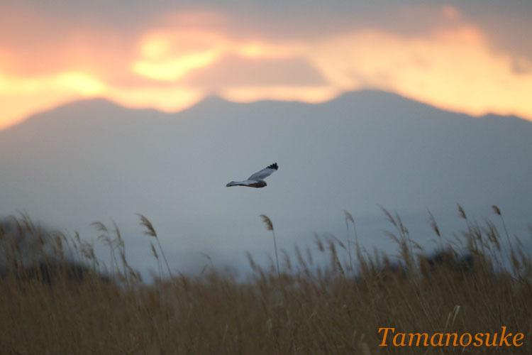 Tamanosuke -haichu_2010_15