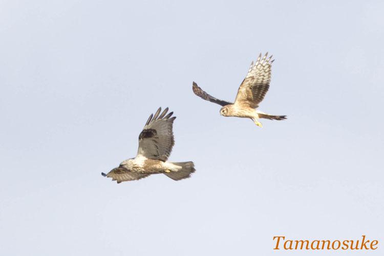 Tamanosuke -haichu_2010_12