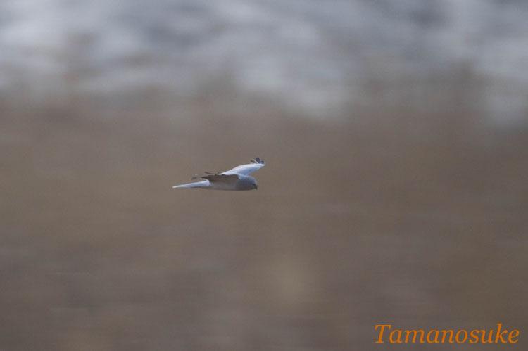 Tamanosuke -haichu_2010_17