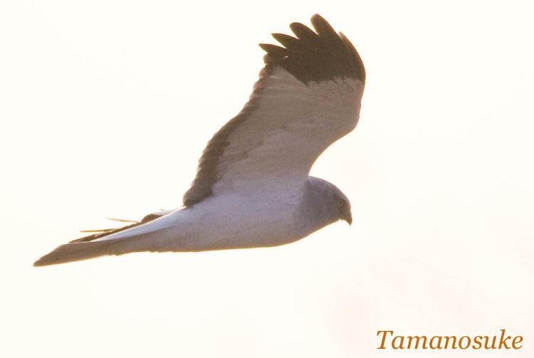 Tamanosuke -haichu_2010_24