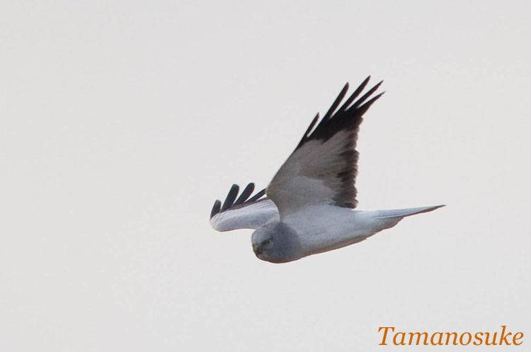 Tamanosuke -haichu_2010_28