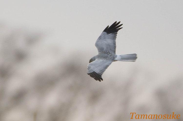 Tamanosuke -haichu_2010_27