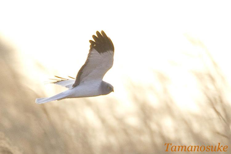 Tamanosuke -haichu_2010_30
