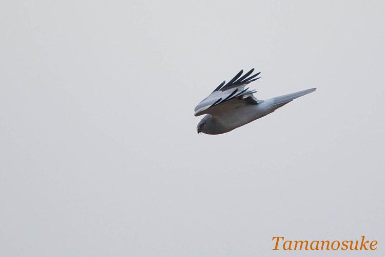 Tamanosuke -haichu_2010_32