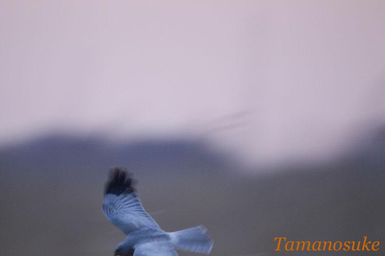 Tamanosuke -haichu_2010_37