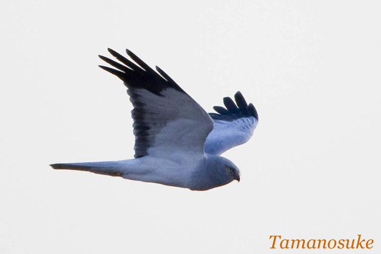Tamanosuke -haichu_2010_45