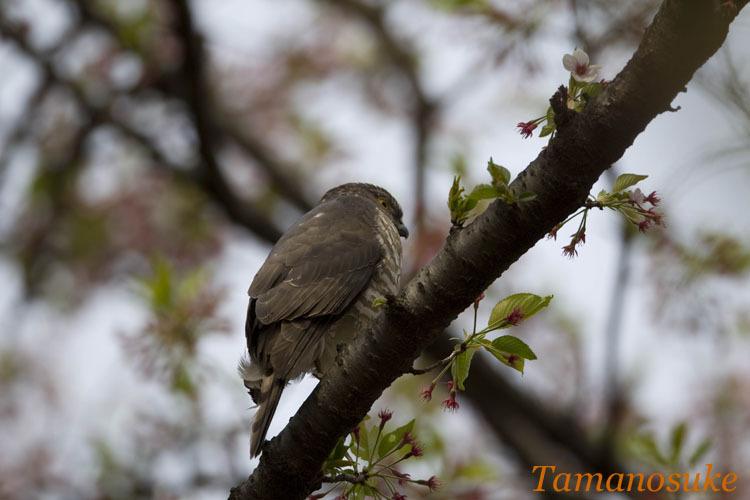 Tamanosuke -tsumi_2