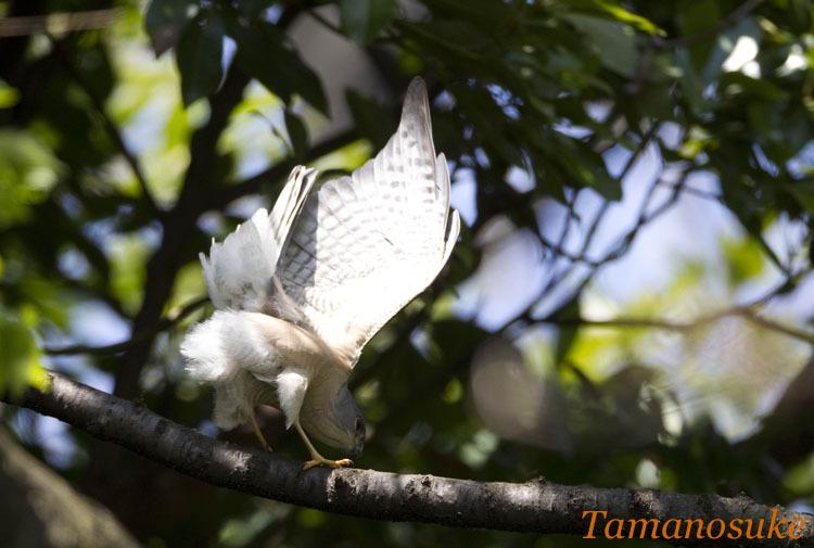 Tamanosuke -tsumi_4