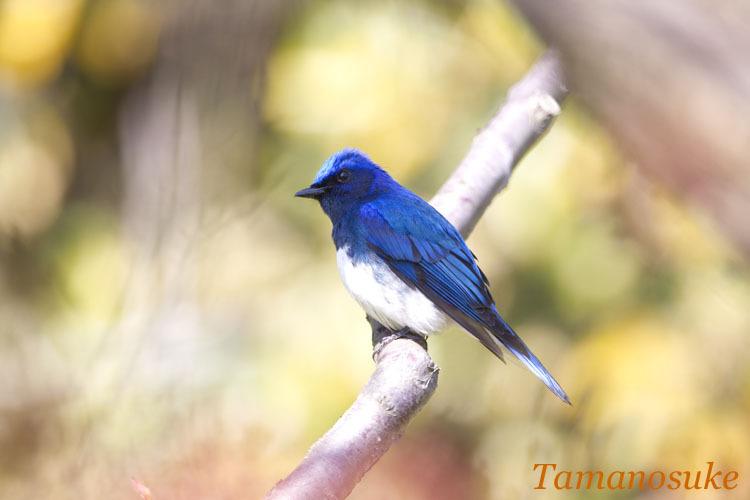 Tamanosuke -ooruri_tobi1