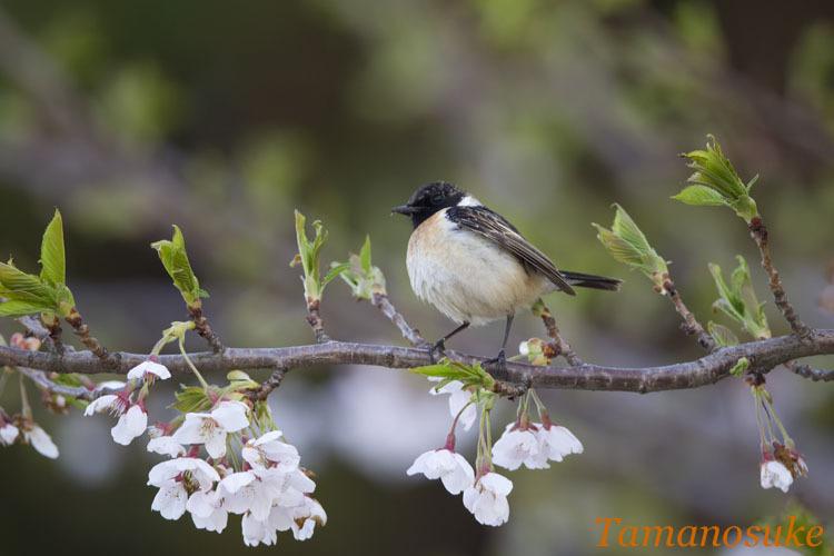 Tamanosuke -nobitaki_tobi1