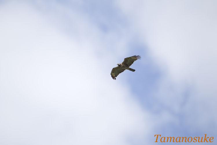 Tamanosuke -hachikuma_2010_1