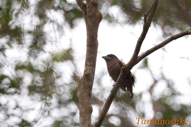 Tamanosuke -Banded_Broadbill_10