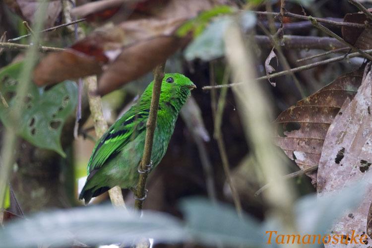 Tamanosuke -Green_Broadbill_10