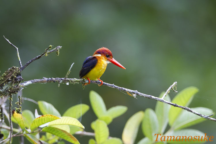 Tamanosuke -Rufous_Backed Kingfisher_10