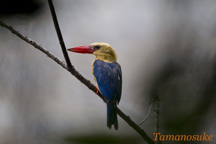 Tamanosuke -Stork_Billed_Kingfisher_20