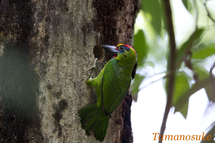 Tamanosuke -Red_Throated_Barbet_10