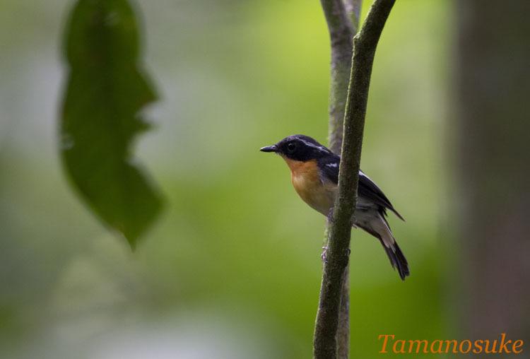 Tamanosuke -Rufous_Chested_Flycatcher_10