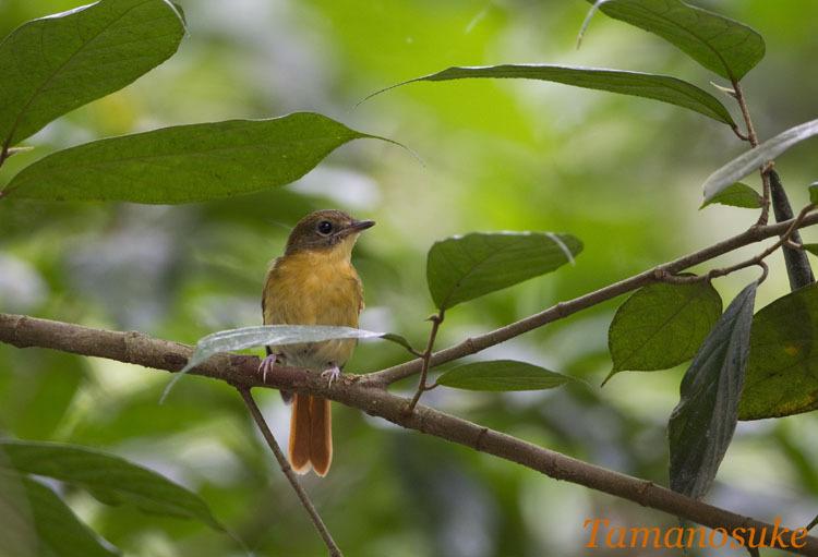 Tamanosuke -Bornean_Blue_Flycatcher_10