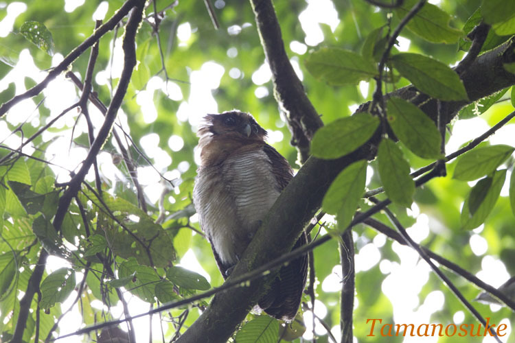 Tamanosuke -Brown_Wood_Owl_10