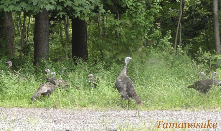 Tamanosuke -Turkey1