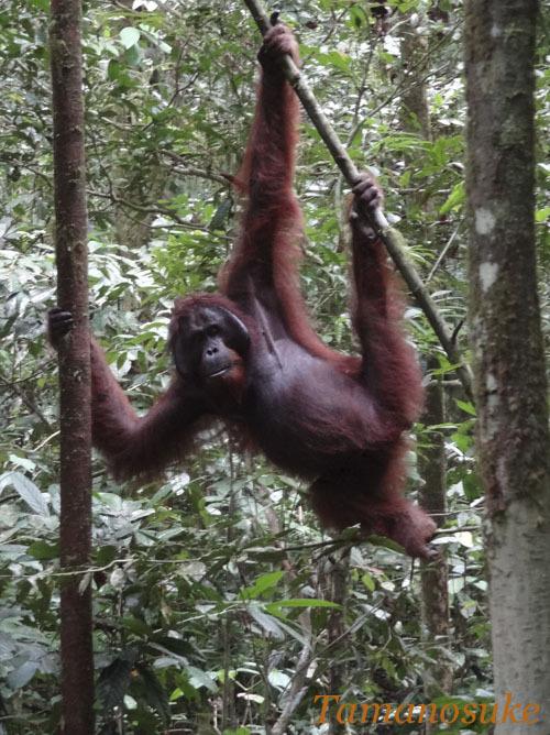 Tamanosuke -Bornean_orangutan_10