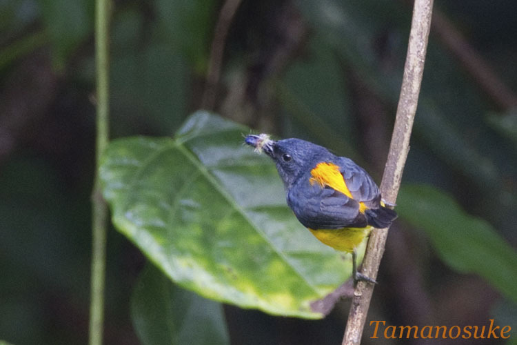 Tak's  room-Orange bellied Flowerpecker 10