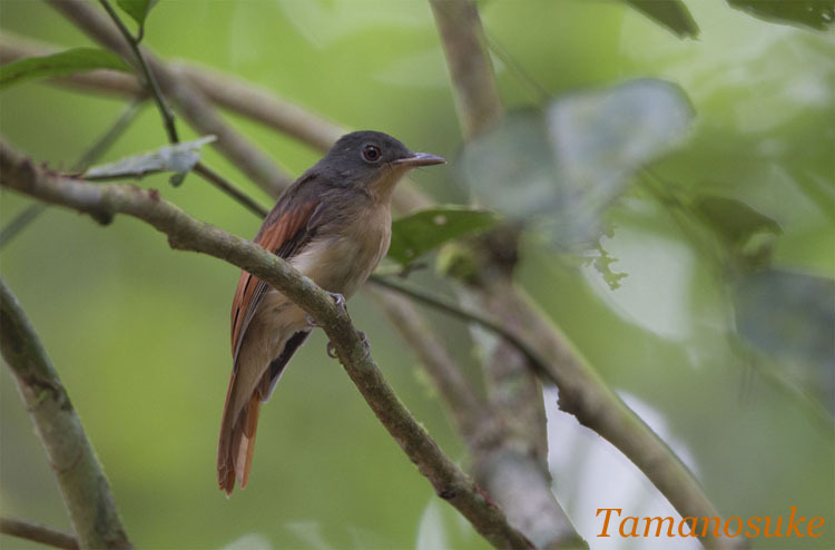 Tak's blog-Rufous Winged Philentoma 10