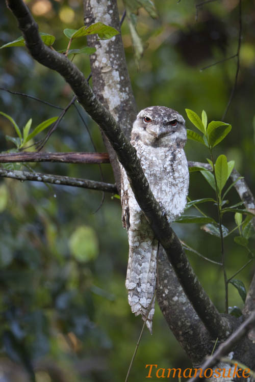 Tak's blog-Papuan Frogmouth A