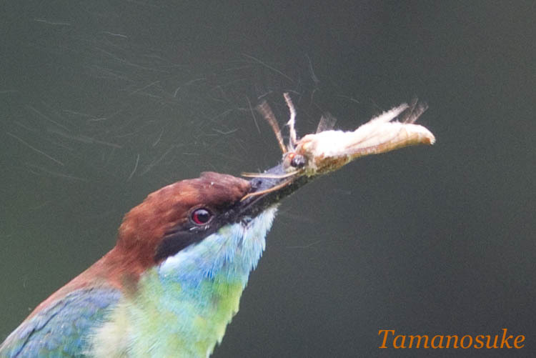Tak's blog-Blue throated Bee-eater 1