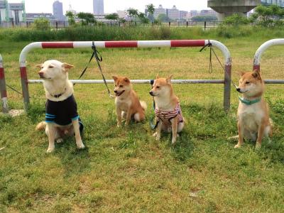 柴犬軍団☆