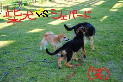 柴vsシェパード
